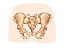 被标记的下肢带骨的图 免版税库存照片