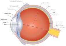 被标记的肉眼的结构 向量例证
