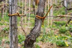 被栓的葡萄树 免版税图库摄影