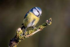 被栖息的一只蓝冠山雀的画象 免版税库存照片