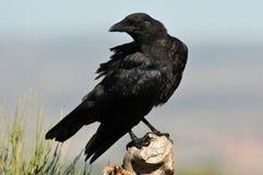 被栖息的乌鸦 库存图片