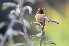被栖息的亚伦的蜂鸟 库存照片