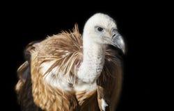 被栖息的兀鹫或欺骗fulvus 库存图片