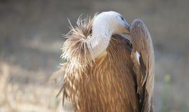 被栖息的兀鹫或欺骗fulvus 免版税图库摄影