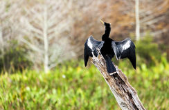 被栖息的公美洲蛇鸟 免版税图库摄影