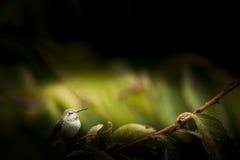被栖息的分行蜂鸟 库存图片