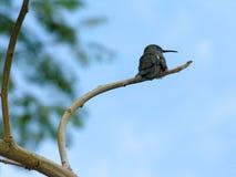 被栖息的分行蜂鸟 免版税图库摄影