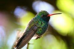 被栖息的分行蜂鸟 库存照片