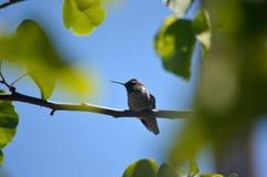 被栖息的分行蜂鸟 图库摄影