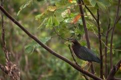 被栖息的分行绿色苍鹭 库存照片