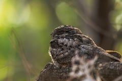 被栖息的夜鹰 库存图片