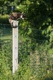 被栖息的女性龟甲猫四处觅食 免版税库存图片