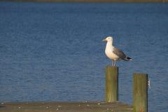 被栖息的定向塔海鸥 免版税库存照片