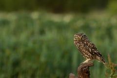 被栖息的小猫头鹰 免版税库存图片