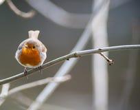 被栖息的小逗人喜爱的知更鸟鸟 免版税图库摄影