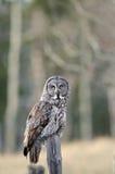被栖息的巨大灰色猫头鹰 库存图片