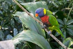 被栖息的彩虹Lorikeet 库存照片