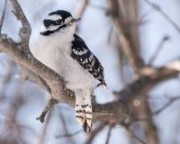 被栖息的柔软的啄木鸟 免版税库存照片