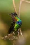 被栖息的火热红喉刺莺的蜂鸟 库存图片