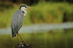被栖息的灰色苍鹭日志 免版税库存照片