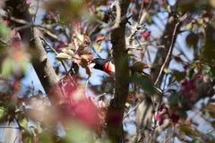 被栖息的玫瑰色Breasted蜡嘴鸟 库存图片