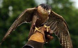 被栖息的现有量鹰 免版税库存图片