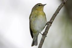 被栖息的田纳西鸣鸟 免版税库存图片
