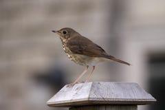 被栖息的画眉鸟 免版税图库摄影