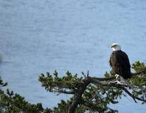 被栖息的白头鹰庄严 免版税库存图片
