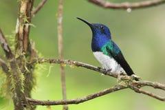 被栖息的白收缩的Jacobin,蜂鸟在厄瓜多尔 库存照片