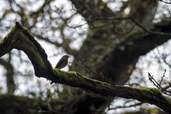 被栖息的知更鸟结构树 库存图片