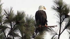被栖息的秃头分行老鹰 股票视频