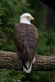 被栖息的秃头分行老鹰 图库摄影