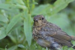 被栖息的篱雀之类的鸟鸟 图库摄影