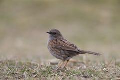 被栖息的篱雀之类的鸟鸟 免版税库存图片
