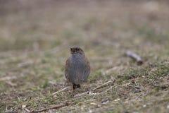 被栖息的篱雀之类的鸟鸟 库存图片