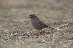 被栖息的篱雀之类的鸟鸟 库存照片