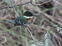 被栖息的绿色翠鸟 免版税库存照片