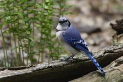 被栖息的蓝色尖嘴鸟日志 库存图片