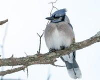被栖息的蓝色尖嘴鸟 库存照片