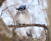 被栖息的蓝色尖嘴鸟 免版税图库摄影
