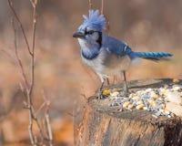 被栖息的蓝色尖嘴鸟 库存图片