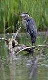 被栖息的蓝色极大的苍鹭日志 库存图片