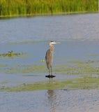 被栖息的蓝色极大的苍鹭la 图库摄影
