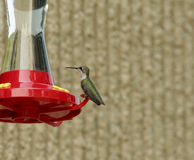 被栖息的蜂鸟 免版税库存照片