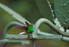被栖息的蜂鸟 图库摄影