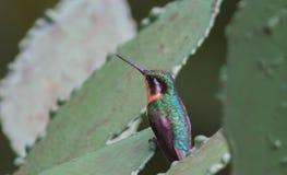 被栖息的蜂鸟 免版税库存图片