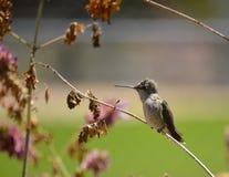 被栖息的蜂鸟 库存图片