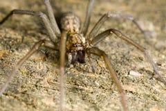 被栖息的蜘蛛狼木头 库存图片
