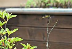 被栖息的蜻蜓 图库摄影